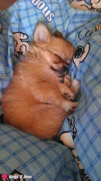 Chihuahua Muffin  Süße Träume mit Snoopy  Rasse: Chihuahua / Name: Muffin     Mehr lesen: http://d2l.in/3b  dogs2love - Gassi gehen zum Verlieben. Partnerbörse für alle, die Hunde lieben.  Bild, Dating, Foto, Hund, Single