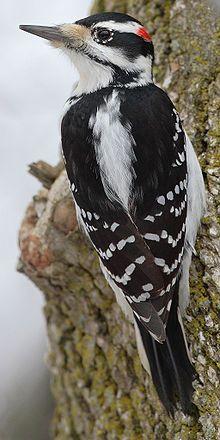 Hairy Woodpecker (Picoides villosus) - Colorado
