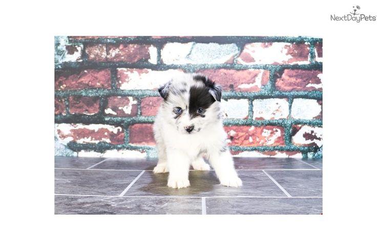 Pomsky puppy for sale near Columbus, Ohio   0b22dc3c-3441