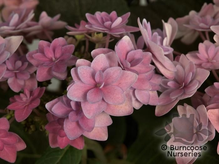 Hydrangea Fireworks Pink Plants By Mail Order From Burncoose Nurseries Your Online