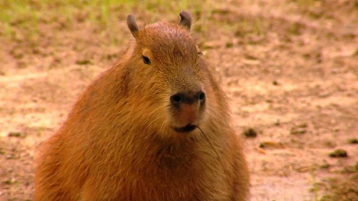Fun Facts About the Capybara, the World's Largest Rodent and Newest Star of Olympic Golf