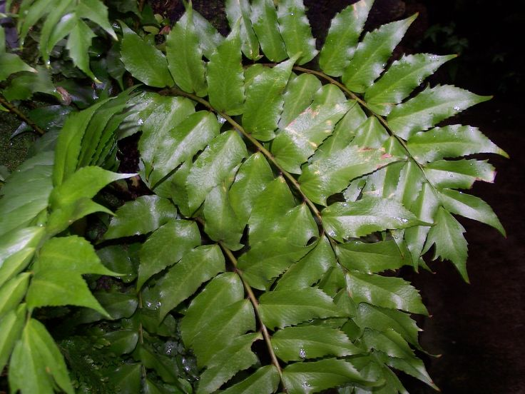 Growing Holly Ferns: Information On Holly Fern Care - Holly fern, named for its serrated, sharp tipped, holly like leaves, is one of the few plants that will grow happily in the dark corners of your garden. Read this article to learn about the care of holly ferns and see if this plant is right for you.