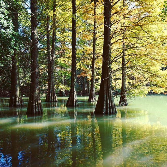 Instagram media by maria36712000 - 【落羽松/ラクウショウ】 * メタセコイアによく似た樹木で湿潤地等で根元が水に浸かった状態で自生するそうです🍃🌿 * 光が池と樹木に射し込んで幻想的でジブリの世界に迷いこんだような感じがしました✨ 紅葉も少し色づいていて、とても素敵な風景でした🍁💛💚🍃🌿🍀☘ * #篠栗九大の森 #fukuoka #福岡 #ラクウショウ #落羽松 #はなまっぷ #fukuokapics #紅葉 #はなまっぷ紅葉 #japan_daytime_veiw  #team_jp_西  #lovers_nippon  #ptk_japan #リフレクション