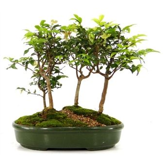 Bonsai Jabuticaba Bosque