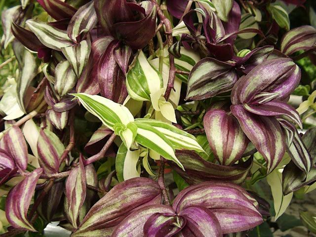 The 25 best wandering jew ideas on pinterest outdoor pots and planters deck plants ideas and - Wandering jew care ...