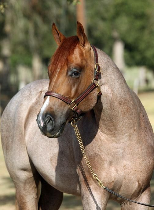 Roan Quarter Horse | Horses and Tack | Pinterest