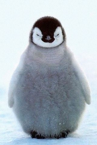 le petit pingouin