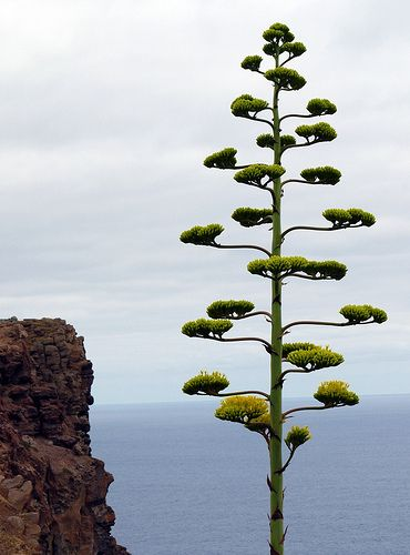 Strange tree <3 This is not a tree, it's the flower of an agave! Had one in the garden and it was as tall as the house.