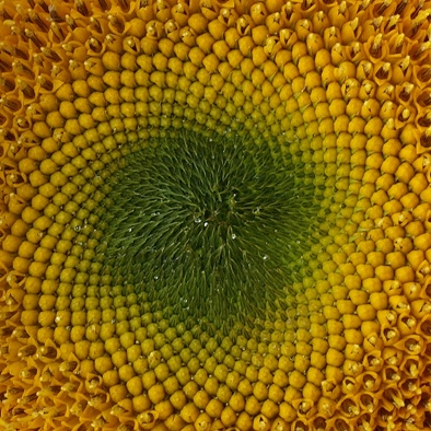 Sunflower  photo by Riva Berkovitz