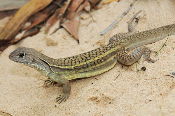 Self-cloning lizard's population is made entirely of females. Single-gender lizards aren't that much of an oddity: About one percent of lizards can reproduce by parthenogenesis, meaning the females spontaneously ovulate and clone themselves to produce offspring with the same genetic blueprint.