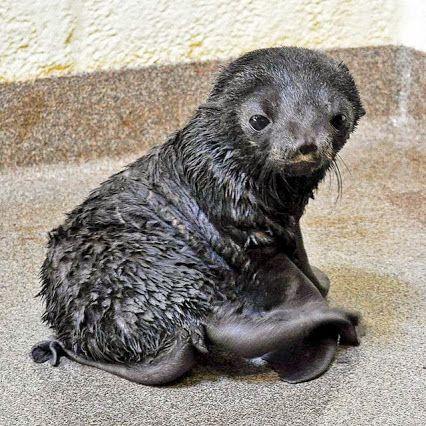 Seltener Seehundwelpe, geboren im New England Aquarium   – Our zoo