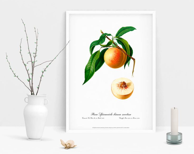 Watercolour Botanical wall art print vintage poster of Peach picture antique home print living room cubicle bedroom decor drawing wall art