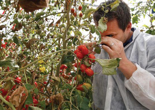 Glastuinbouw Koerier juni 2017: Tomatengalmijt vereist volle aandacht