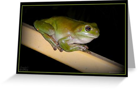 CONTENT!  Another Green Tree Frog. He looks so contented.