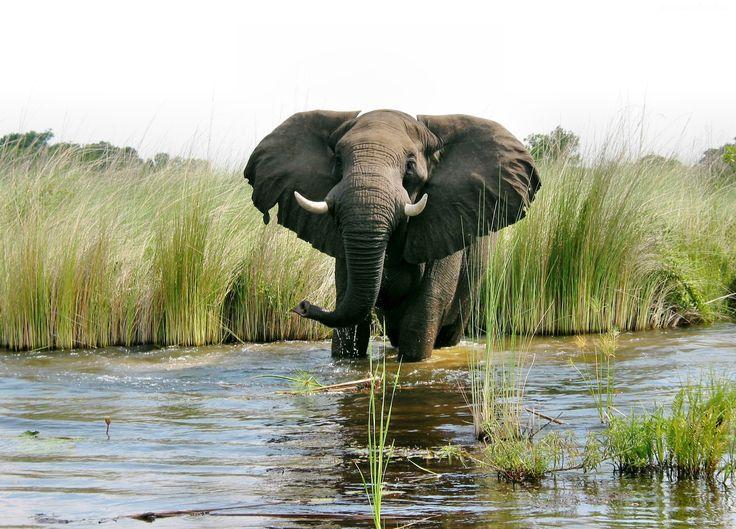 Słoń, Woda, Szuwary
