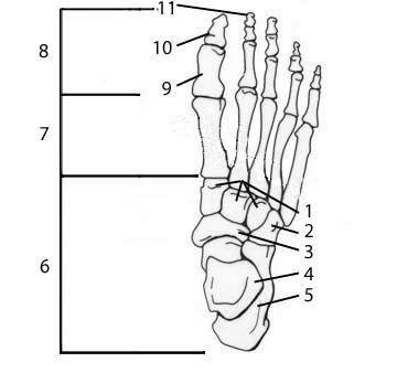 tibia and fibula blank diagram 1996 ford explorer 5 0 wiring foot unlabeled great installation of tarsals data today rh del245 bestattungen eschershausen de anterior skull pelvic girdle