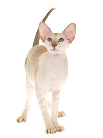 Peterbald Cat: The Peterbald cat breed is a graceful and elegant hairless cat breed. They have long bodies with long and dainty legs.