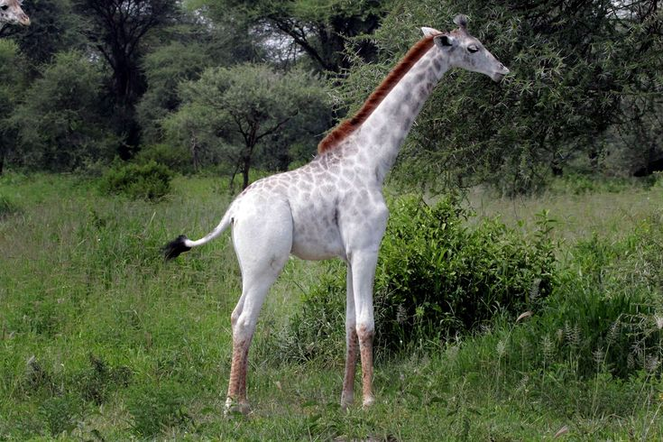 """""""Omo"""" the white giraffe in Tanzania is leucistic. - photo by Derek Lee/ Caters News, via nationalgeographic;  """"Omo is lucky to have survived her first year of life. Giraffe calves are a favorite meal for many predators, and her pale color probably makes her more conspicuous to predators."""""""