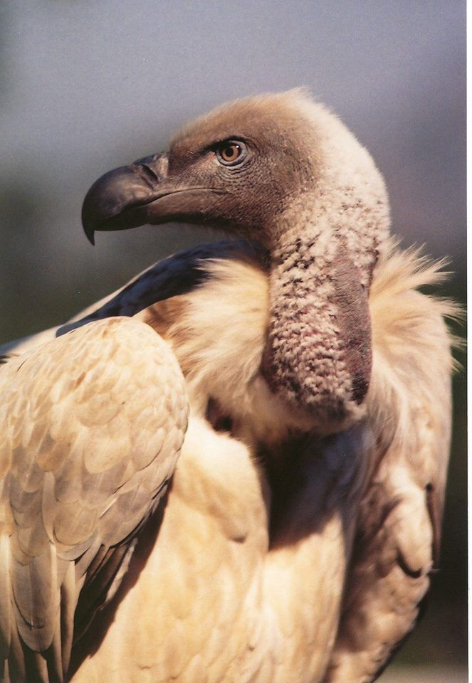 Cape Vulture. By Mark Robertson