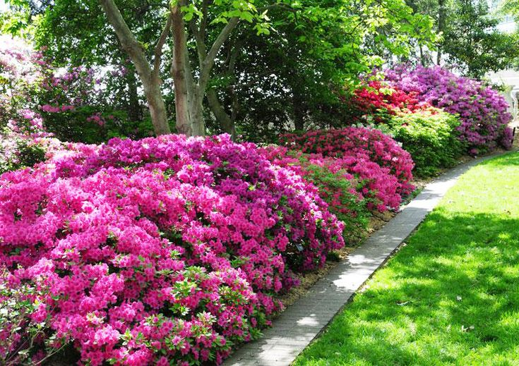 Encore Azaleas are easier to grow, cold-hardy, sun-loving, come in a variety of colors AND re-bloom spring to fall unlike traditional azaleas. Learn more about all the varieties in our blog.