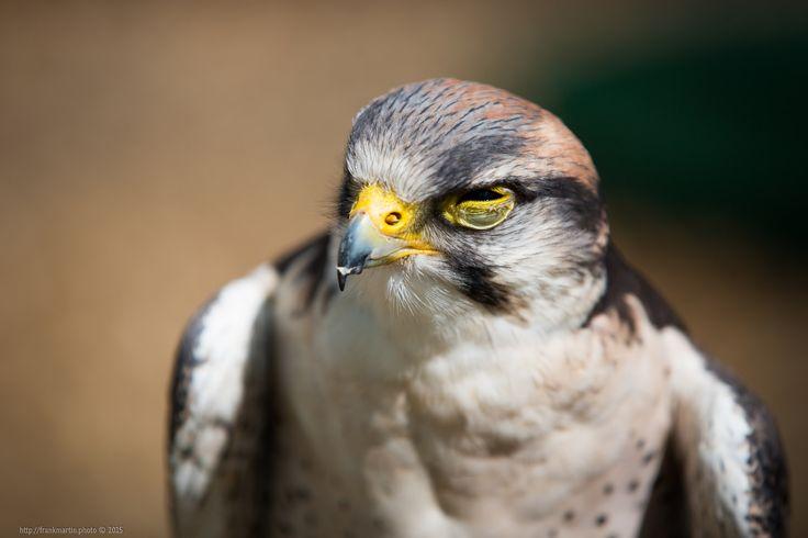 Falcon https://flic.kr/p/yZ8NCE