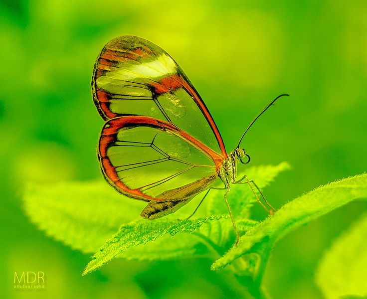 The glasswinged butterfly (Greta oto) by Maurizio Di Renzo on 500px