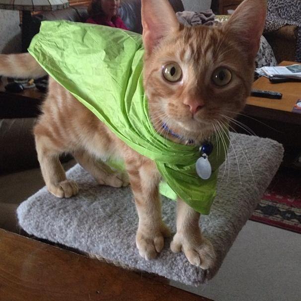 17 Best ideas about Polydactyl Cat on Pinterest | Black ...  17 Best ideas a...