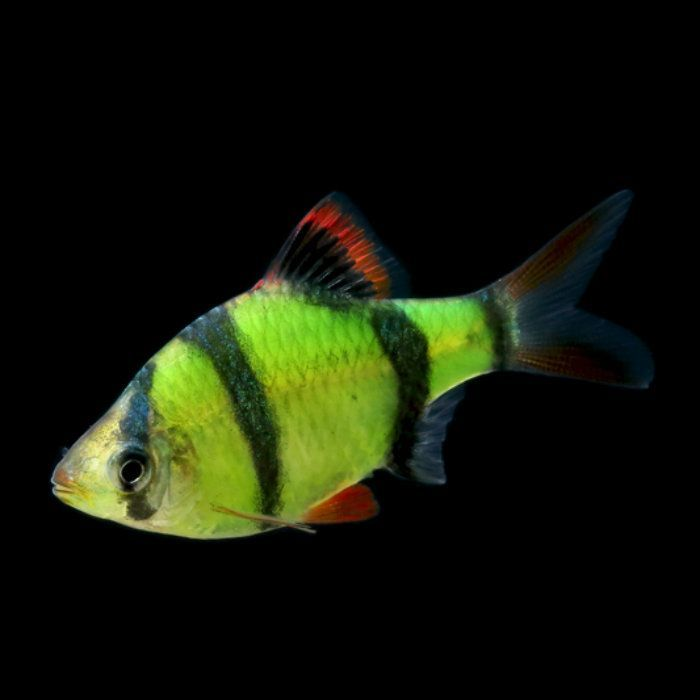 70 best images about glofish on pinterest glow neon and for Tiger barb fish