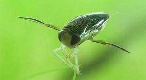 El científico Shi Yanlong y su grupo de la Facultad de Química e Ingeniería Química, de las universidades de Gansu y Hexi, han investigado la superhidrofobicidad -un sistema único de propulsión- de las alas posteriores de un insecto acuático, llamado barquero de agua (Corixidae). + info: http://www.ecoapuntes.com.ar/2012/07/un-insecto-acuatico-inspira-el-diseno-de-submarinos-y-robots/