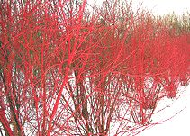 Red twig Dogwood winter color C. sericia 'Red Osier' dogwoods are also hardy to zone 2, reaching 7-10 feet high and wide.  You will find many C. sericia with many different names, including the 'Red Osier', 'Red Twig', 'American', 'Western' and 'Red Stem'.  They are all nearly the same plant, perhaps with minor differences.  Most of the 'Red Osiers' are fast growing.  'Isanti' has bright red winter stems, the most colorful of the Red Osiers, and is 5-7 feet tall.  It is slow growing and…