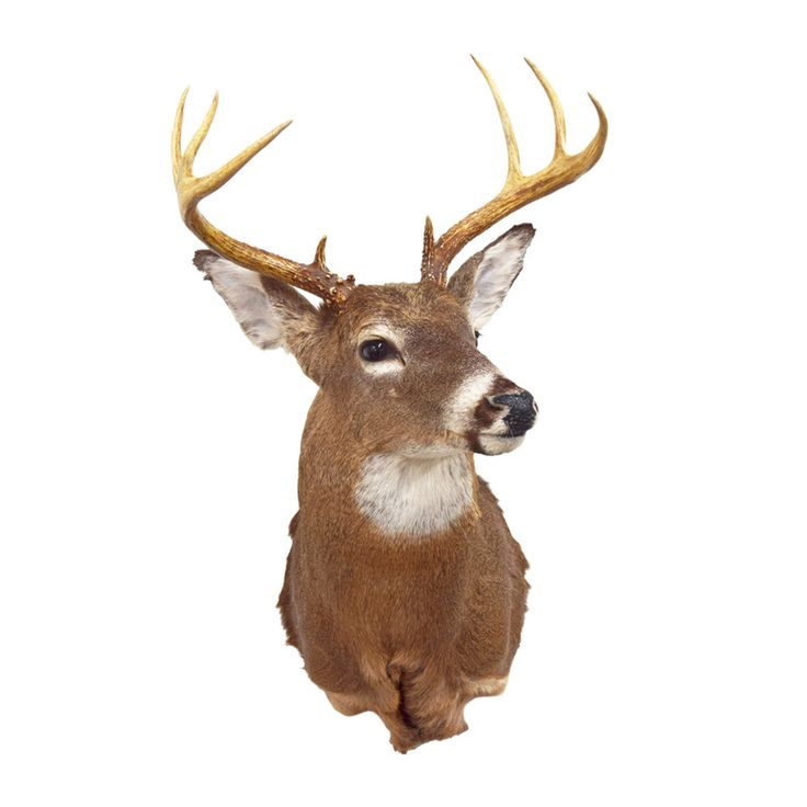 Whitetail Deer Shoulder Mount Taxidermy For Sale Mounts