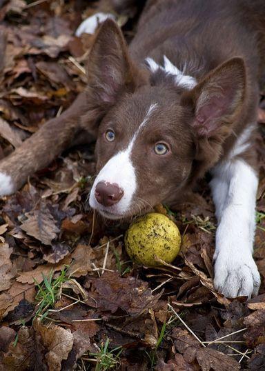 sweet little Australian Kelpie Puppy Dog