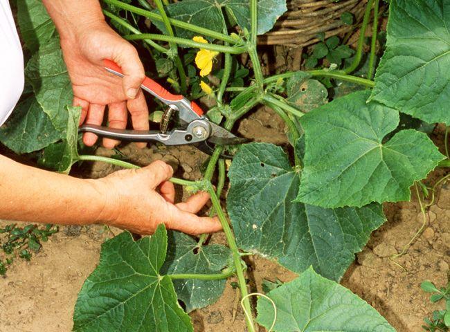 Au potager : tailler le concombre en été pour récolter de beaux légumes. Les conseils de jardinage de www.rustica.fr