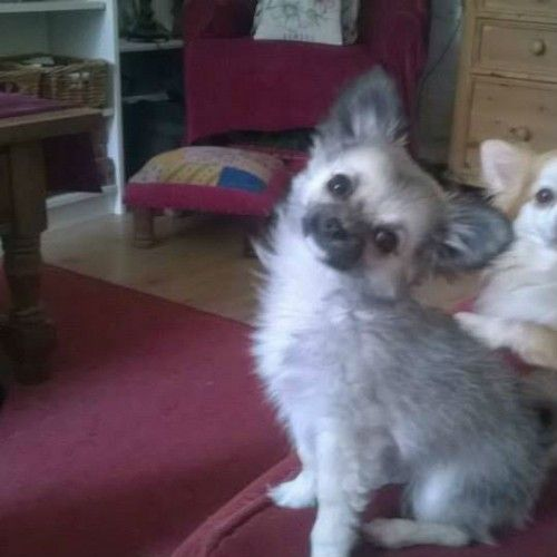 #FindHarlow – #Lost long haired #Chihuahua #Puppy – Pontypridd #Wales #UK https://shar.es/1u4H3H via @PetsAreFound #HelpFindHarlow Missing since May 25th in Graigwen, Pontypridd, WALES Harlow went missing on Monday 25th May at 3:30pm in the Graigwen area of Pontypridd, after being scared by another dog. Being scared and...