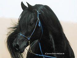 Black Arabian: Dark Hors, Black Egyptian, Black Horses, Egyptian Arabian, Dream Horses, Black Arabian, Beauty Horses, Arabian Stallion, Arabian Horses