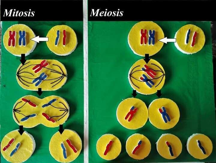 Maqueta De Meiosis Y Mitosis Buscar Con Google Maquetas De Celulas Mitosis Mitosis Y Meiosis