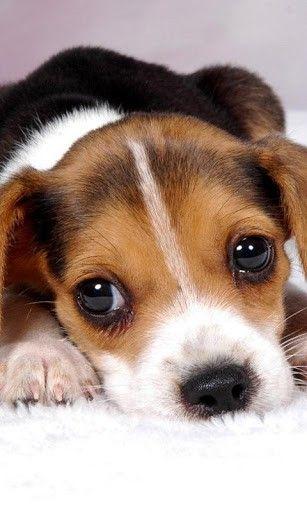 Best 25+ American foxhound ideas on Pinterest | English ...