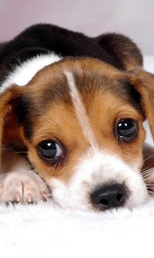 American Fox Hound dog photo | View bigger - American Foxhound Dog Puzzle for Android screenshot