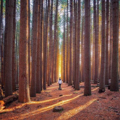 Sugar Pine Walk, Laurel Hill, Australia | Photography by Daniel Tran
