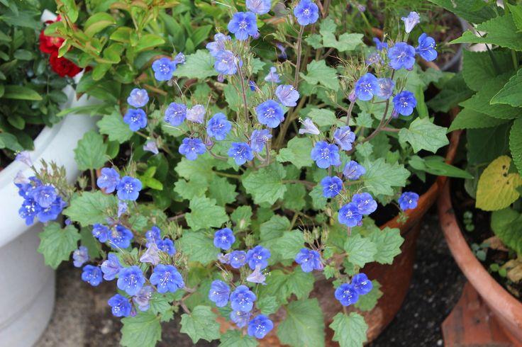 """Phacelia Campanularia """"California Bluebells"""".. les abeilles, bourdons et autres butineurs avaient adorer cette petite plante aux fleurs bleu cobalt."""