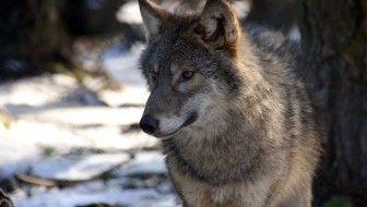 Ulven tilbage i Danmark - Ja da!