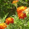 Old School Marigolds: A Virtual Workhorse For The Diverse Gardener
