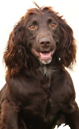 The Deutscher Wachtelhund breed is a versatile hunter of all types of forest game, furred or feathered; yet is a gentle loving family dog.   More Info: http://www.akc.org/dog-breeds/deutscher-wachtelhund/    Rescue: http://deutscherwachtelhund.org/