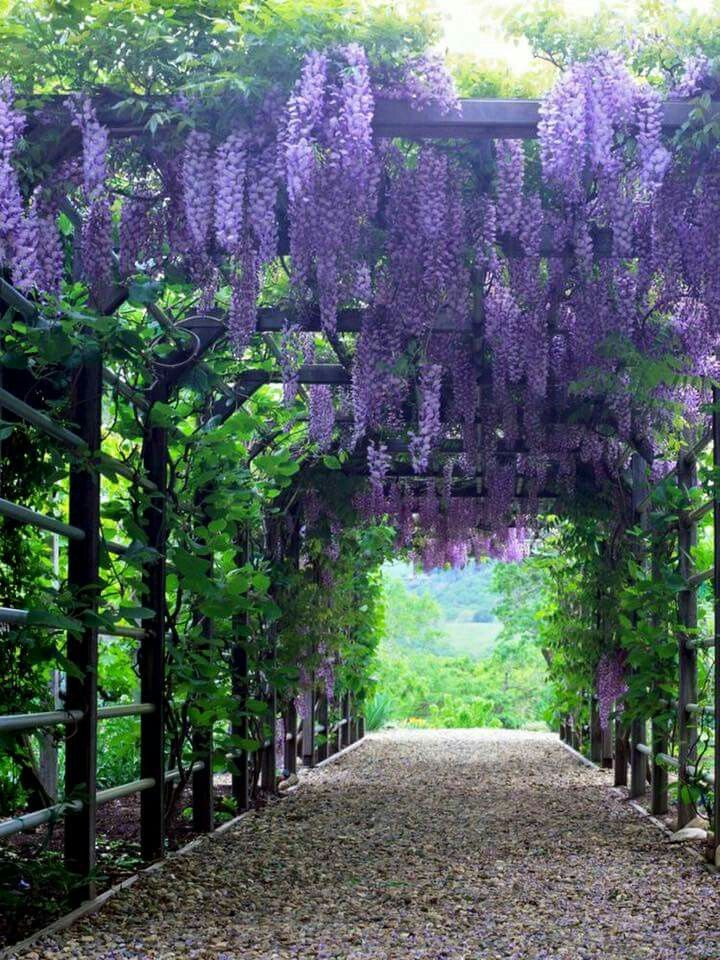 So beautiful - wisteria                                                                                                                                                      More