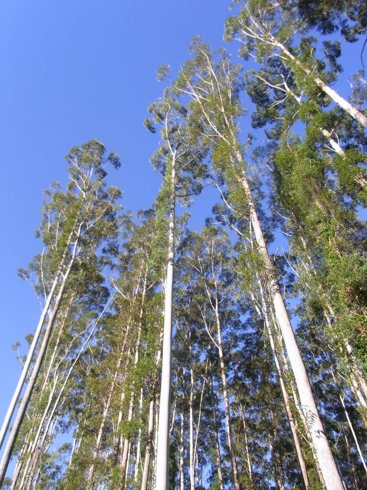 "Eucalyptus grandis, ""rose gums"""