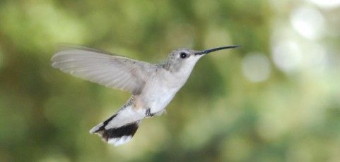 Best Recipe for Hummingbird Food