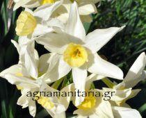 Narcissus tazetta Νάρκισσος ο ταζέττιος