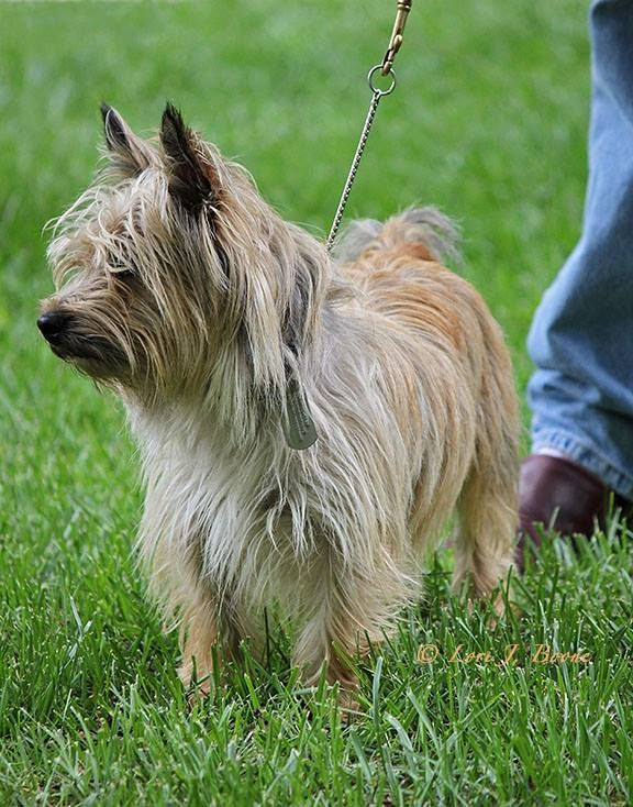 Chester Doing His Thing Cairn Terrier Terrier Cute Dogs