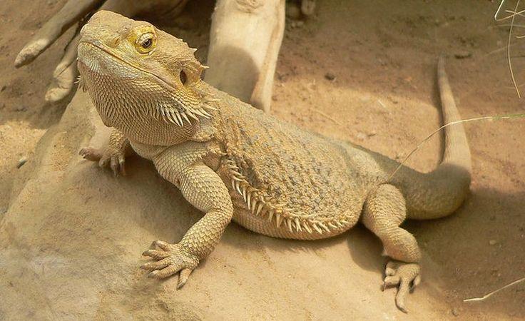 Australijski gušteri mijenjaju pol sa porastom temperature