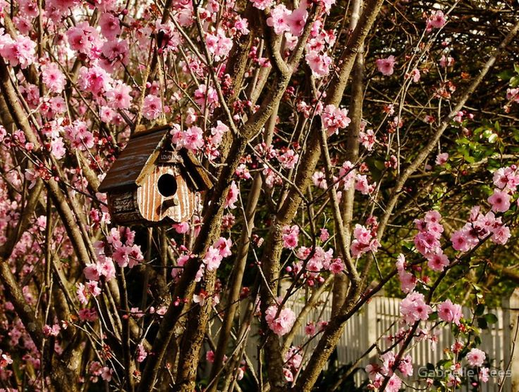 A birdhouse in the flowering plum tree.